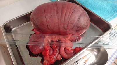 上の写真が摘出した卵巣・子宮です。 左側子宮角に多量の蓄膿が認められま... 愛知県で犬の診療が